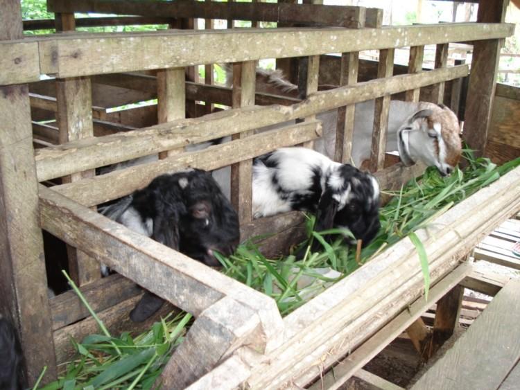 Cara Ternak Kambing yang Baik Agar Cepat Gemuk dan ...